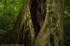 Strangler Fig Tree (Alastair Marsh Photography) Tags: stranglerfigtree figtree trees tree leaves leaf strangler bark trunk rainforest rain rainfall cloudforest costarica centralamerica forest jungle tropical landscape landscapephotography latinamerica