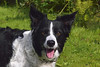 Tess (Mike & Indy) Tags: tess dog dogs bordercollie llanfairfechan