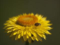 Un, Deux, Trois ... Soleil **---+---° (Titole) Tags: coccinelle ladybug ladybird yellow everlastingflower immortelle titole nicolefaton shallowdof orange thechallengefactory unanimouswinner 15challengeswinner gamex2