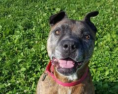 Saber (DDA1) Tags: saveapetilorg adoption adoptionshelter adoptioncenter adoptable adopt amstaff pitbullmix pitbull dog outdoor dogears