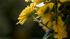 Blümchen gelb von rechts (p.schmal) Tags: panasonicgx80 hamburg farmsenberne chrysanthemen