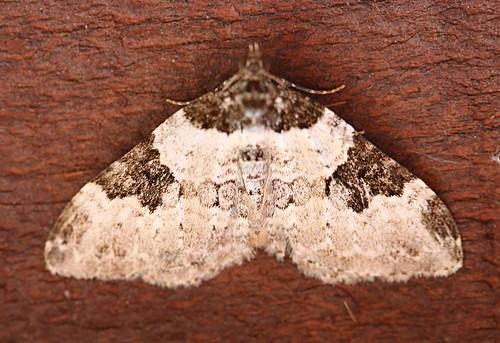 scorched carpet moth - ligdia adustata