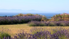 Lavendar Farm on Sequim Bay (Bella Lisa) Tags: sequimbay lavenderfarm olympicmountains lavender sequim olympicpenisula lavenderfarminsequim washington