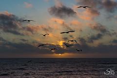California Sunset (Selkii's Photos) Tags: birds brownpelican california californiapelican clouds coast coastline dusk evening ocean pacificocean pelecanusoccidentalis pelican pescadero seascape sunset water