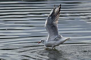 Gull with prey - Möwe mit Beute