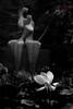 Lotus Flower (-岳飞-) Tags: lotus flower bw gfs