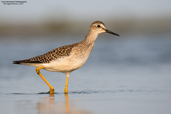 Lesser Yellowlegs (www.lirongertsman.com) Tags: birds birding outdoor outdoors nature birdphotography birdwatching shorebird shorebirdmigration shorebirds shorebirdphotography shorebirding mudflats mud mudflat muddy intertidal migrant migration migratory migratoryshorebird migrating pacific pacificnorthwest pacificcoast pacificflyway pacificocean birdmigration natural naturephotography wild wildlife animal animals wildlifephotography lirongertsmancom bc britishcolumbia britishcolumbiacoast bccoast delta deltabccanada boundarybay fraserriverdelta vancouver greatervancouver lowermainland metrovancouver canada canon canon7dmarkii canoneos7dmarkii 7dmarkii canon100400mm canon100400mmii canonef100400mmf4556lisiiusm yellowlegs lesseryellowlegs tringaflavipes