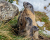 Achtung!  Gefahr? Nein nur der Ulli. (cfowallburg) Tags: österreich nationalparkhohentauern murmeltier