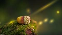 Noisette...en fait, non, c'est un gland (YᗩSᗰIᘉᗴ HᗴᘉS +8 000 000 thx❀) Tags: nut noisette macro forêt bois mousse green nature hensyasmine autumn automne season light gland