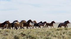 (prairiegirrl) Tags: wildhorses mustangs stewart creek hma wyoming gallop run freedom keepwildhorseswild