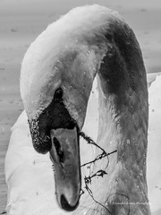 Roath Park Birds 2107 09 18 #16 (Gareth Lovering Photography 5,000,061) Tags: roath park cardiff wales birds swans ducks heron grebe lake water olympus omdem10ii garethloveringphotography