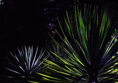 _MG_2006.CR2 (jalexartis) Tags: yucca yuccaplant shrub shrubbery nightphotography night nightshots dark lighting camranger lumecube