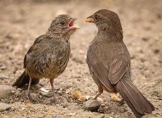 California Towhee family Inceville Los Liones Canyon Los Angeles 110