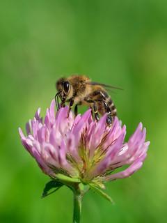 Bee on clover | Biene auf Klee