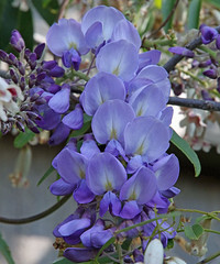 Wisteria - 94/100 (DaveSPN) Tags: 100flowers2017
