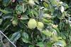 Cydonia oblonga-12 (The Tree Library (TreeLib.ca)) Tags: cydionaoblonga quince
