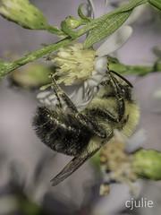 p'tite abeille en mode veille 4 (cjuliecmoi) Tags: fleur macro abeille proxiphotographie bee flower macrophotographie macrophotography détail