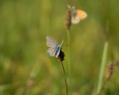 Fatigué d'avoir tant voleté... (Gisou68Fr) Tags: papillon butterfly azurécommun commonblue pré prairie meadow bokeh vert green canoneos650d efs18135mmf3556isstm