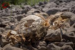 River Bones (KnightedAirs) Tags: fish bones boneyard bone skeleton decay dead river coast coastline riverbed columbia oregon washington macro close up nikon d5200 digital nikkor 35mm afs rock bed