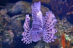 Lion Fish (Helderlopesfotos) Tags: portugal lisboa oceanário peixe citrit