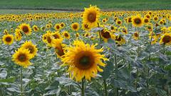 Ukraine/sunflowers (videodigit16) Tags: sunflowers ukraine nature paysage beauty road sun image picture panasonic leica landscape field outdoor countryroad color yellow