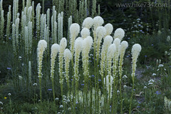 "Beargrass • <a style=""font-size:0.8em;"" href=""http://www.flickr.com/photos/63501323@N07/35578800103/"" target=""_blank"">View on Flickr</a>"