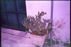 0604_16-05-2017_Olympus SUPERTRIP exp COLORAMA ISO200 film_Lecce_trip to Puglia_510 (nefotografas) Tags: triptoitaly apulia puglia salento lecce olympus supertrip expired colorama iso200 film
