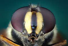 Hoverfly(syrphidae) (brianjobson) Tags: hoverfly syphidaes head eye antenna hairy macro extreme closeup arthropod insect
