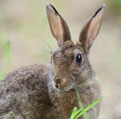 Lapin de garenne (guiguid45) Tags: nature sauvage animaux mammifères loiret d810 nikon 500mmf4 lapin rabbit lapindegarenne oryctolaguscuniculus