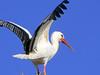 IMG_3110 (pinktigger) Tags: stork cigüeña storch cicogne ooievaar ciconiaciconia cicogna cegonha bird nature fagagna feagne friuli italy italia oasideiquadris animal outdoor wings