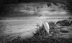 Awaiting the Looming Storm (JDS Fine Art Photography) Tags: bird egret heron nature sea ocean landscape sunset sky dramaticsky dramaticlandscape dramatic bw monochrome depthoffield inspiration inspirational beauty naturesbeauty naturalbeauty
