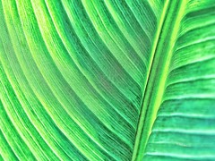 Abstract Macro: Palmistry (Silke Klimesch) Tags: macromonday abstractmacro hmm palmistry palm palmreading palmleaf green lines pattern macro closeup texture arecaceae palmier palmera palmeira palmizio φοίνικασ palmiye па́льма 棕榈科 makrofotografie nahaufnahme parkbabelsberg potsdam olympus omd em5 mzuikodigitaled60mm128macro microfourthirds memberschoice 7dwf freetheme