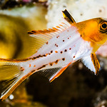Lyretail Hogfish, juvenile - Bodianus anthioides thumbnail