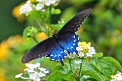 Pipevine Swallowtail (deanrr) Tags: pipevineswallowtail swallowtail summer 2017 morgancountyalabama alabama flowers bokeh yellowandwhiteflowers leaves blackandbluebutterfly butterfly pipevine