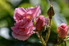 Pink Rose (Ptolemy the Cat) Tags: rose flower garden nature pink nikond600 tamronf2890mmmacrolens 071213
