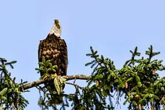 Bald Eagle (Chatham Sound) Tags: malcolmisland georgiastraight pacificnorthwest britishcolumbia canada fauna birdsofprey baldeagle haliaeetusleucocephalus nikond5 tamron150600mmf5663divcusd animals pose