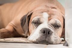 Dormindo (Explore) (Vinicius_Ldna) Tags: 0267 dog sleeping asleep dormingo sono soneca sleep pet care caress nina boxer canon 50mm 50tinha londrina brazil explore explored