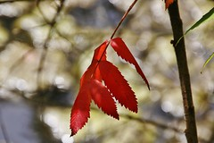 Staghorn Sumac leaves (Explored-my thanks to all) (outdoorpict) Tags: red leaves mthope branches cool windy sunny quiet reservoir water supply colors crisp