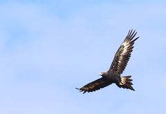 Wedge-tailed Eagle (Aquila audax) (Heleioporus) Tags: wedgetailed eagle aquila audax near moura queensland