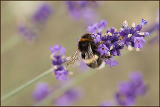 P1190637-1 - Bumblebee on Lavender