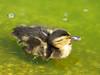 Baby Mallard (Elmer2424) Tags: duck mallard babyduck bird