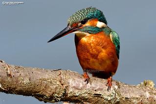 Common Kingfisher, Alcedo atthis.