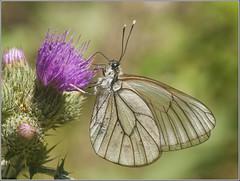 Blanca del Majuelo. (josemph) Tags: olympus e3 sigma 105mm zuico ec14 macro insectos mariposas lepidópteros piéridos blancadelmajuelo aporiacrataegi butterfly blackveinedwhite