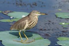 Indian Pond Heron - Habarana Lake Sri Lanka (WanderingPJB) Tags: birds flickruploaded srilanka lake habarana pond indianpondheron wader 7dwf smileonsaturday uniflona