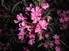 046 (en-ri) Tags: fiorellini little flowers sony sonysti rosa verde foglie leaves