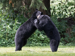 Play-fighting (Maja's Photography) Tags: bc blackbear bear bears animals fighting playfighting wrestling fun hugs wildlife wilderness wild nature naturephotography forest fantasticnature