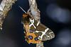 Tiger (Darius Baužys) Tags: arctia arctiidae beauty brown butterfly caja close detail drugys garden great keršoji macro meškutė moth nature orange tiger insect animal