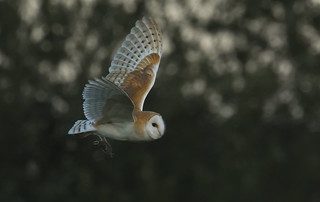 Barn Owl fly by