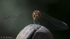 Libellule (12) (letexierpatrick) Tags: libellule dragonfly nature nikon nikond7000 jardin france extérieur colors couleurs couleur sigma105mm sigma