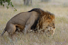 Happy World Lion Day (Pete Foley) Tags: flickrsbest over excellence lion lionsmating theoriginofthespecies africa namibia etosha etoshanationalpark